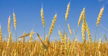 Mc Donald's opte pour le blé français