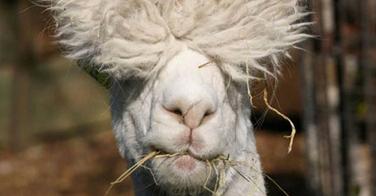 Scandale des extensions : pour répondre à la demande mondiale, les cheveux naturels sont remplacés par des poils de chèvres !