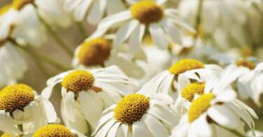 Des fleurs pour prendre soin de vos cheveux