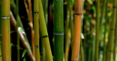 Le bambou, nouvel ingrédient tendance pour vos cosmétiques capillaires