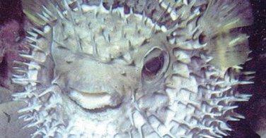Le fugu, poisson venimeux