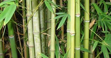 Les pousses de bambou dans la cuisine japonaise